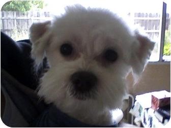 Maltese Dog for adoption in Rancho Cordova, California - Jasper