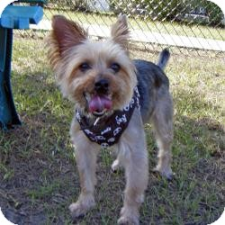 Yorkie, Yorkshire Terrier Dog for adoption in Spring Hill, Florida - Spike