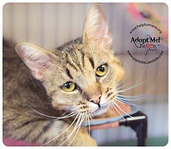 Bengal Cat for adoption in Belton, Missouri - Linus