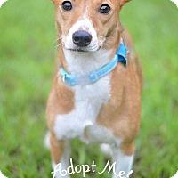 Adopt A Pet :: Azule - Fort Valley, GA