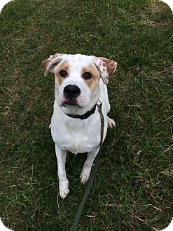 Labrador Retriever/Australian Shepherd Mix Dog for adoption in Elmwood, Tennessee - Kismet