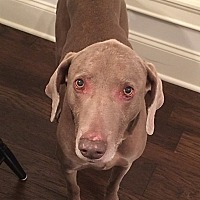 Weimaraner Dog for adoption in Grand Haven, Michigan - Lucca