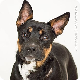 Shepherd (Unknown Type)/Cattle Dog Mix Dog for adoption in Naperville, Illinois - Liebchen