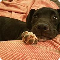 Adopt A Pet :: Barrow - Knoxville, TN