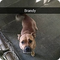 Boxer/Bulldog Mix Dog for adoption in Marianna, Florida - Brandy