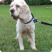 Adopt A Pet :: Clara - Cape Coral, FL