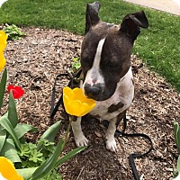 Adopt A Pet :: Birkie - West Allis, WI