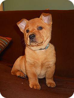 Labrador Retriever/Chow Chow Mix Puppy for adoption in Groton, Massachusetts - Spud