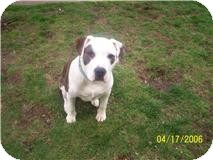 American Pit Bull Terrier Dog for adoption in Seattle, Washington - Rowdy