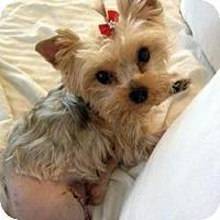 Adopt A Pet :: Coco Chanel - West Palm Beach, FL