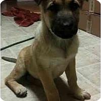 Adopt A Pet :: Lab n Shep pups! - Seattle, WA