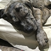 Adopt A Pet :: *Kipper - PENDING - Westport, CT