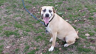 Boxer Mix Dog for adoption in Columbia, South Carolina - Frannie