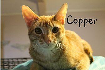 Domestic Shorthair Cat for adoption in Wichita Falls, Texas - Copper