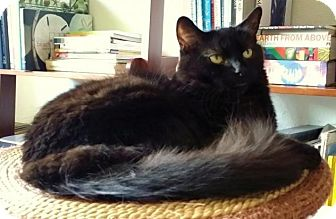 Maine Coon Cat for adoption in Santa Ana, California - Captain Black
