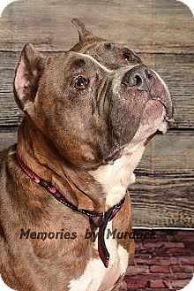 American Staffordshire Terrier Mix Dog for adoption in Frankfort, Illinois - Hazel