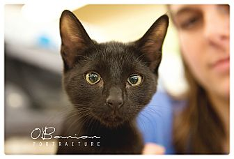 Domestic Shorthair Kitten for adoption in Baytown, Texas - Sycamore