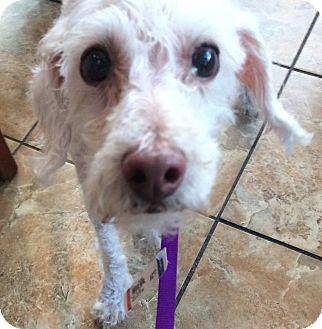 Poodle (Miniature) Mix Dog for adoption in Oak Ridge, New Jersey - Ethel