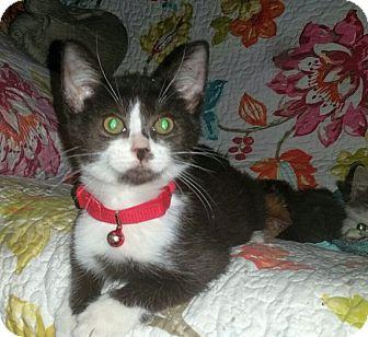 Colorpoint Shorthair Kitten for adoption in Washington, North Carolina - FELIX