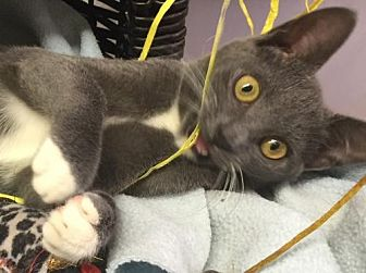 Domestic Shorthair Cat for adoption in Flint HIll, Virginia - Stormy