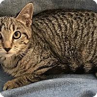 Adopt A Pet :: Amber - Tampa, FL