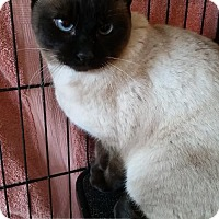 Adopt A Pet :: Nova - Lakewood, CO
