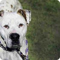 Adopt A Pet :: GABBY A708510 @ Rancho Cucamon - Beverly Hills, CA