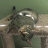 Adopt A Pet :: Major Tom - McKinney, TX