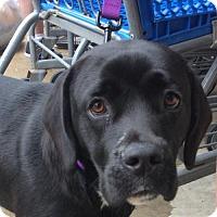 Adopt A Pet :: Hooch - Rockville, MD