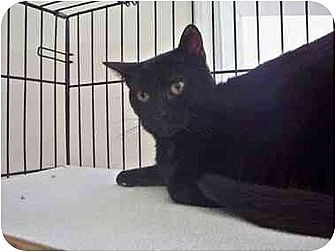 Domestic Shorthair Cat for adoption in East Stroudsburg, Pennsylvania - Ace