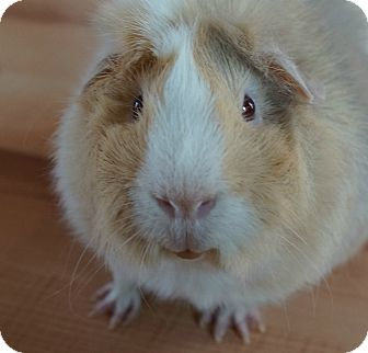 Guinea Pig for adoption in Brooklyn Park, Minnesota - Henry