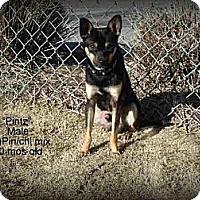 Adopt A Pet :: Pintz - Gadsden, AL
