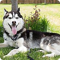 Adopt A Pet :: Zeus - Seattle, WA