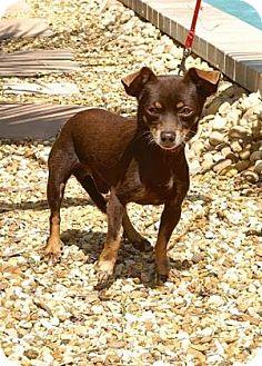 Chihuahua Mix Dog for adoption in Englewood, Florida - Benji