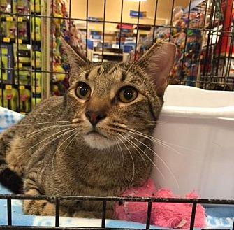 Domestic Shorthair Cat for adoption in San Antonio, Texas - Cabo