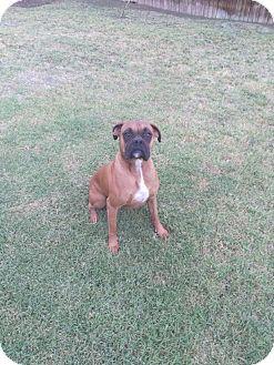 Boxer Dog for adoption in Santa Monica, California - Tyson