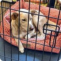 Adopt A Pet :: Darla - Newport, KY