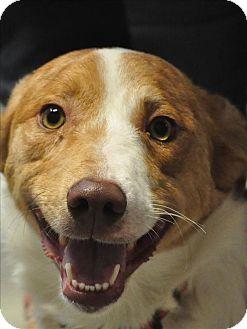 Australian Cattle Dog Mix Dog for adoption in Osage Beach, Missouri - Carson