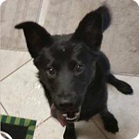 Adopt A Pet :: Josie - East Hartford, CT