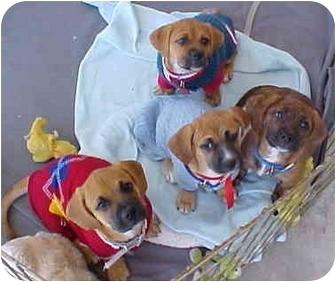 Beagle/Boxer Mix Puppy for adoption in Spring Valley, California - Beagle/Boxer Pups