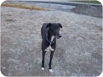 Greyhound Dog for adoption in Roanoke, Virginia - Ivan
