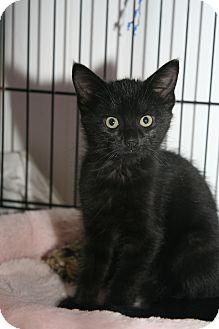 Domestic Shorthair Kitten for adoption in East Brunswick, New Jersey - Mystery