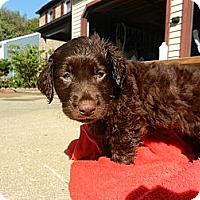 Adopt A Pet :: Rose - South Jersey, NJ