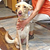 Adopt A Pet :: Sierra - Burbank, CA