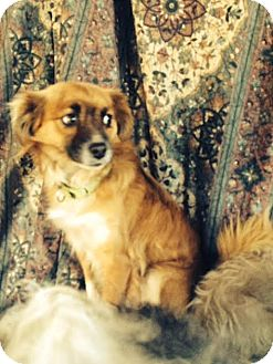 Sheltie, Shetland Sheepdog/Pomeranian Mix Dog for adoption in Ripon, California - Buddy