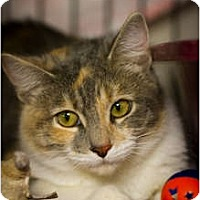 Calico Cat for adoption in Bulverde, Texas - Elvira