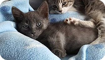 Domestic Shorthair Kitten for adoption in Freeport, New York - Smokey Mel