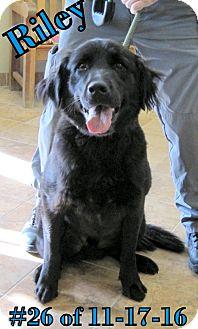 Golden Retriever/Labrador Retriever Mix Dog for adoption in Gaylord, Michigan - Riley