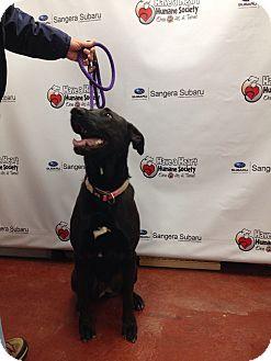 Labrador Retriever/German Shepherd Dog Mix Dog for adoption in Tehachapi, California - Bellah
