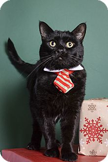 Domestic Shorthair Cat for adoption in Whitehall, Pennsylvania - Top Hat